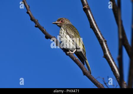 An Australian, Queensland Female Figbird ( Sphecotheres viridis ) perched on a tree branch resting - Stock Photo