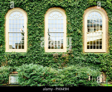 Ivy wall in Harvard - Stock Photo