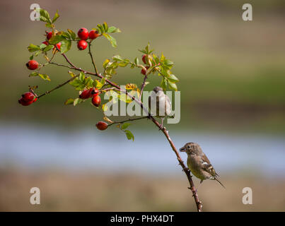 Two female or juvenile Common Chaffinches, Fringilla coelebs, perched on a branch with leaves and rose hips against a defocussed natural background. - Stock Photo