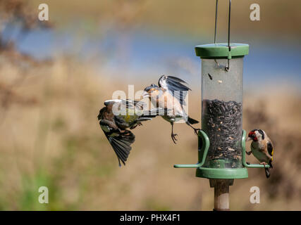 Bird feeder drama: a male Chaffinch, Fringilla coelebs, chases of another which has a seed in its beak while a Goldfinch feeds at the other side. Focu - Stock Photo