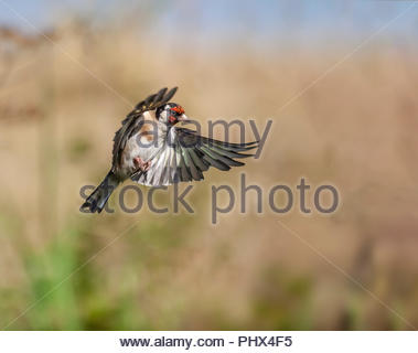 European Goldfinch, Carduelils carduelis, in flight, against a defocussed, natural late summer / early morning background. - Stock Photo