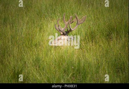 Rothirsch, Wildpark Johannismuehle, Baruth, Brandenburg, Deutschland - Stock Photo