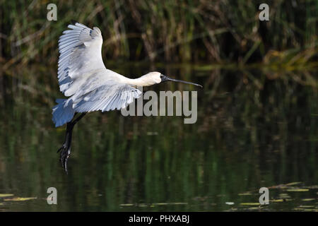 An Australian, Queensland Immature Royal Spoonbill ( Platalea regia ) about to land in a Lagoon - Stock Photo