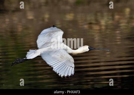 An Australian, Queensland Immature Royal Spoonbill ( Platalea regia ) flying low over a Lagoon - Stock Photo