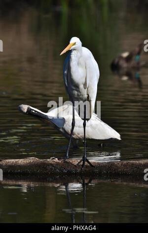 An Australian, Queensland Immature Royal Spoonbill ( Platalea regia ) preening itself behind a Nonbreeding Great Egret ( Ardea alba ) in a Lagoon - Stock Photo