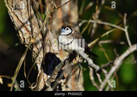 An Australian, Queensland Double-barred Finch ( Taeniopygia bichenovii ) perched on a tree branch resting - Stock Photo