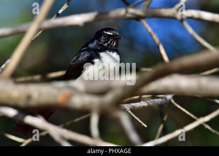 An Australian, Queensland Willie Wagtail ( Rhipidura leucophrys ) perched resting amongst dense tree branches - Stock Photo