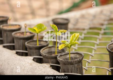 Poas Volcano area, Costa Rica, Central America.  Coffee plant seedlings. - Stock Photo