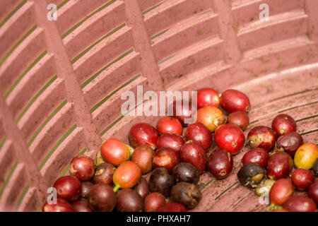 Poas Volcano area, Costa Rica, Central America.  Coffee fruit / berries / cherries in a basket.  Each cherry contains two seeds. - Stock Photo