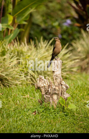 Poas Volcano area, Costa Rica, Central America.  Female Great-tailed Grackle perched on a stump. - Stock Photo