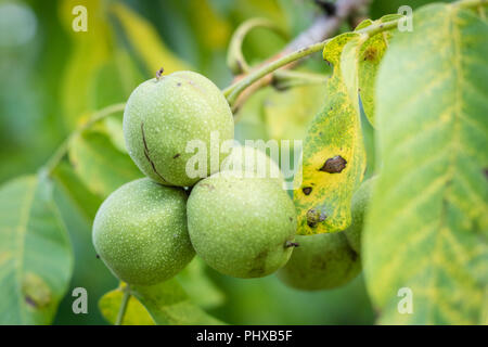 Ripening walnuts in shell. Fruit ready for harvesting on a wooden table. Season - autumn. - Stock Photo