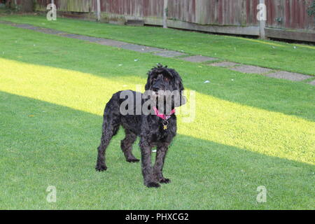 Cockapoo dog plays in garden - Stock Photo