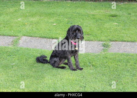 Cockapoo dog plays in garden - Stock Photo