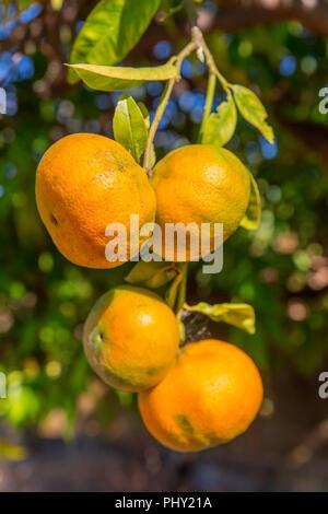 Four orange tangerines hanging at tree in Algarve Portugal - Stock Photo