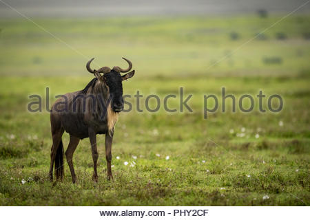 White-bearded wildebeest standing in middle of grassland - Stock Photo