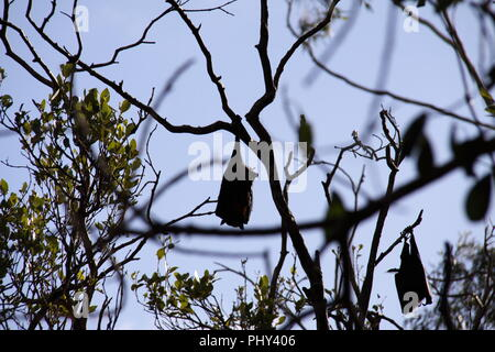 Gray-headed Flying Fox (Peteropus Poliocephalus) Colony roosting in Trees - Stock Photo