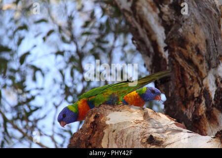 Rainbow Lorikeets (Trichoglossus Moluccanus) resting on branch of Paperbark Eucalyptus - Stock Photo