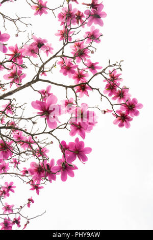 Pattern of branches with no leaves but with a lot of beautiful pink blooming magnolia flowers isolated on white. Image can be used as a card design - Stock Photo