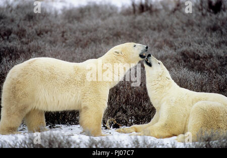 Polar bears playfighting near Churchill, Manitoba, Canada - Stock Photo
