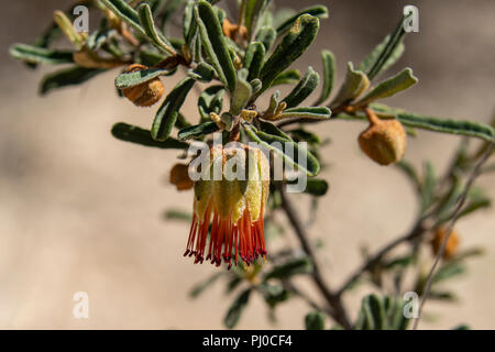 Diplolaena Dampieri, Dampier's Rose - Stock Photo