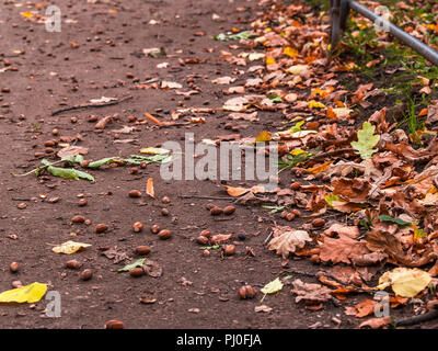 On the ground lay ripe acorns of oak tree fruits and yellow fallen leaves lie next autumn in the sunny weather in the park - Stock Photo