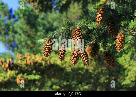 Closed up many of pine cones hanging on Pine tree in the autumn sunlight, El Calafate, Patagonia, Argentina - Stock Photo