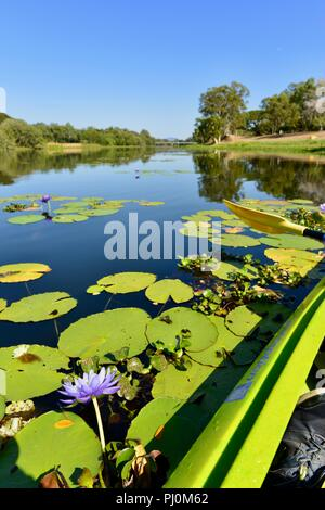 Purple water lilies growing in the clear freshwater of the Ross River QLD, Australia - Stock Photo