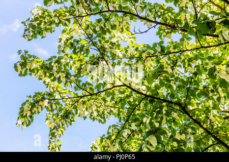 Davidia involucrata, the dove-tree, handkerchief tree, pocket handkerchief tree, ghost tree, handkerchief tree leaves, handkerchief tree flowers, - Stock Photo