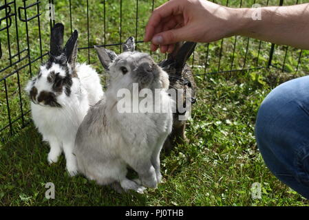 Three pet rabbits bonding with owner in outdoor cage on a property near Moose Lake - Stock Photo