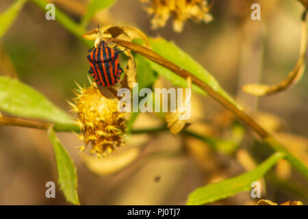 Graphosoma lineatum Striped bug, Minstrel bug, August 2018, Andalucia Spain - Stock Photo