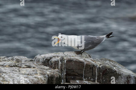 Black Legged Kittiwake Rissa tridactyla standing on a rock calling - Stock Photo