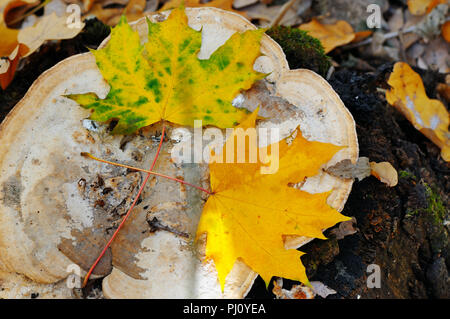 autumn maple leaves on an old stump in the woods - Stock Photo