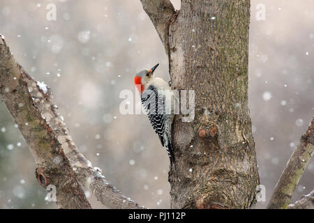 Close up of a female Red-bellied Woodpecker on a tree trunk with a snow falling in the background in winter - Stock Photo