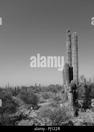 Black and white, Saguaro cactus in open desert. - Stock Photo