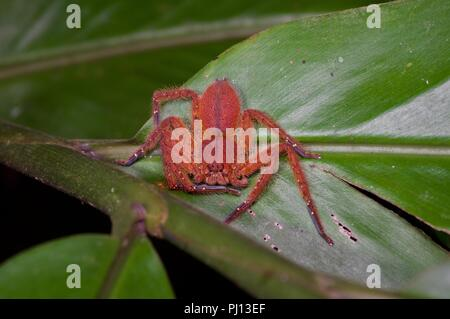 A David Bowie Spider (Heteropoda davidbowie) on a leaf at night in the rainforest in Kubah National Park, Sarawak, East Malaysia, Borneo - Stock Photo