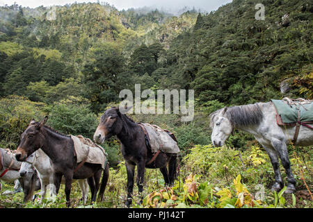 Horses and mules at Thongo Zampa camp, Paro District, Snowman Trek, Bhutan - Stock Photo