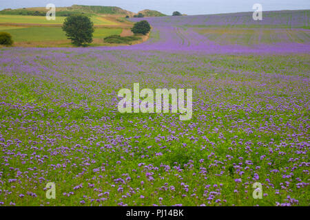 A colourful field of Phacelia tanacetifolia common names lacy phacelia, blue tansy or purple tansy, near Alnmouth UK - Stock Photo