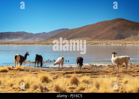 Domestic llamas grazing near a lake on the altiplano in Bolivia - Stock Photo