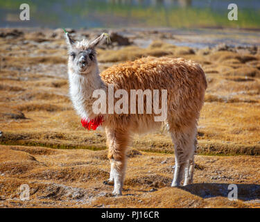 Portrait of a llama looking at the camera in Bolivia, South America - Stock Photo