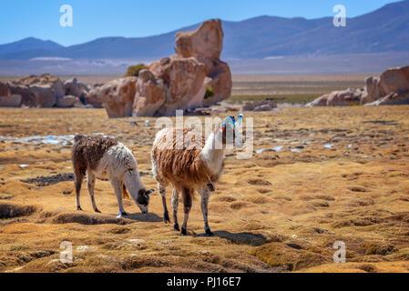 Domestic llamas grazing on the altiplano in Bolivia - Stock Photo
