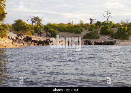A herd of African elephants Loxodonta africana congregating at dusk on the banks of the Chobe river in Botswana - Stock Photo