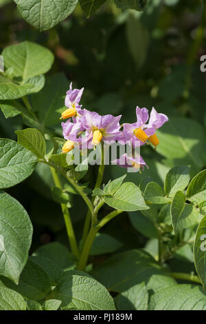 Pretty poisonous light purple potato flowers, Solanum tuberosum similar to tomato and nightshade, which will become fruit full of toxin solanine - Stock Photo