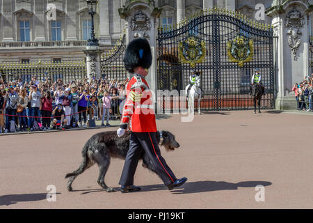 Queen's Guards, Mascottchen Irish Wolfshound, Changing of the guards, Buckingham Palace, London, England, Grossbritannien - Stock Photo
