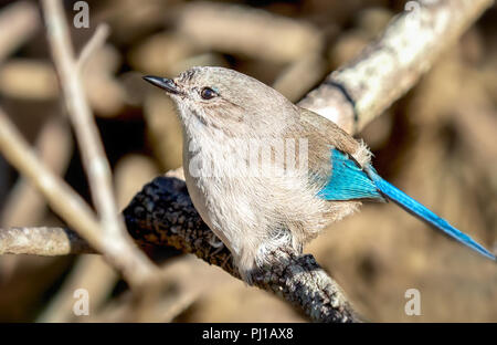 Female Splendid fairywren (malurus splendens) sitting on a branch, Australia - Stock Photo