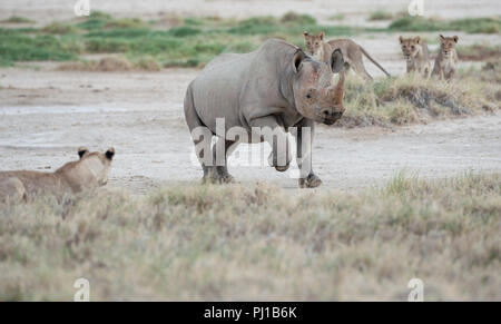 Black rhino running past a pride of lions, Namibia - Stock Photo