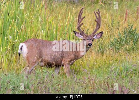 Mule deer (Odocoileus hemionus) male grazing in high grass, Yellowstone National Park, Wyoming, USA - Stock Photo