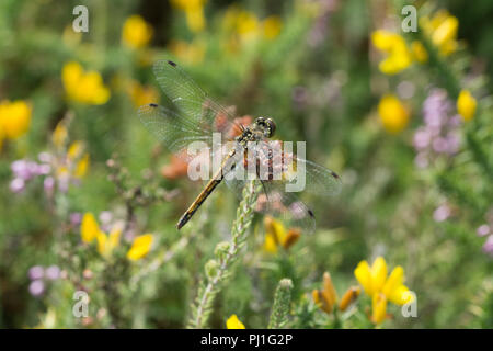 Female black darter dragonfly (Sympetrum danae) resting in heathland among gorse and heather flowers, Surrey, UK - Stock Photo