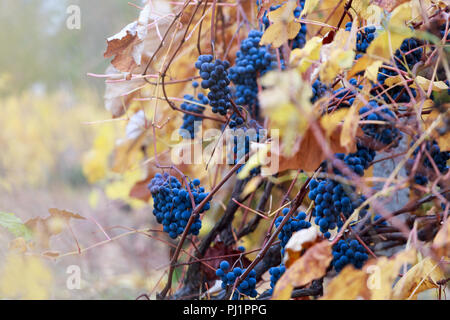 Ripe red grape in late autumn with golden leaves in Moldova - Stock Photo