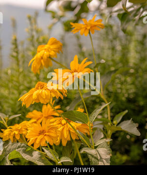 Outdoor warm color flora image of yellow blooming false sunflower/heliopsis sunflowers on a blurred rural landscape background on a sunny bright day - Stock Photo