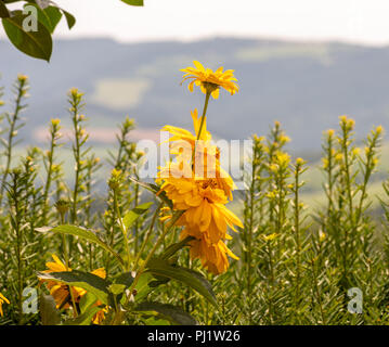 Warm colored outdoor floral image of yellow blooming false sunflower/heliopsis sunflowers on a blurred rural landscape background,sunny bright day - Stock Photo